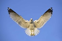 Ring Billed Gull (Larus delawarensis) in flight, California, USA Fine-Art Print