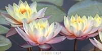 Lotus Panorama Fine-Art Print