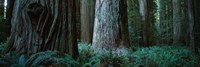 Redwood Trees and Ferns, California Fine-Art Print
