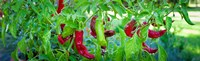 Santa Fe Grande Hot Peppers on bush Fine-Art Print