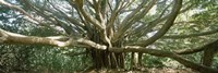 Banyan tree stretches in all directions, Maui, Hawaii, USA Fine-Art Print