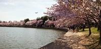 Cherry Blossom trees at Tidal Basin, Washington DC, USA Fine-Art Print