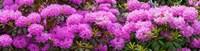 Hydrangeas flowers, Union Township, Union County, New Jersey, USA Fine-Art Print