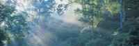 Sun filtering through trees, Nagano Japan Fine-Art Print