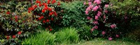 Rhododendrons plants in a garden, Shore Acres State Park, Coos Bay, Oregon Fine-Art Print