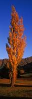 Poplar tree on Golf Course, Queenstown, South Island, New Zealand Fine-Art Print