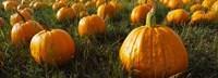 Close Up of Pumpkins in a  Field, Half Moon Bay, California Fine-Art Print