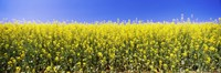 Close up of Canola in bloom, Idaho Fine-Art Print
