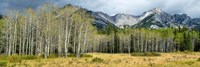 Aspen trees with mountains in the background, Bow Valley Parkway, Banff National Park, Alberta, Canada Fine-Art Print