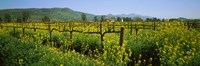 Wild mustard in a vineyard, Napa Valley, California Fine-Art Print