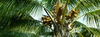 Coconuts on a palm tree, Varadero, Matanzas Province, Cuba Fine-Art Print