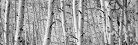 Aspen trees in Winter, Rock Creek Lake, California Fine-Art Print