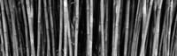 Bamboo trees in a botanical garden, Kanapaha Botanical Gardens, Gainesville, Alachua County, Florida (black and white) Fine-Art Print