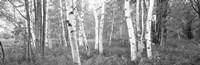 Birch trees in a forest, Acadia National Park, Hancock County, Maine (black and white) Fine-Art Print