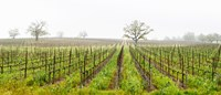 Oak trees in a vineyard, Guerneville Road, Sonoma Valley, Sonoma County, California, USA Fine-Art Print