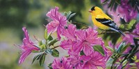 Goldfinch In Azaleas Fine-Art Print