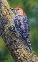 Red Bellied Woodpecker Fine-Art Print