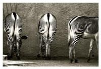 Zebra Butts Fine-Art Print