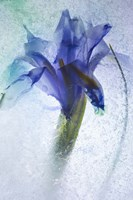 Flowers on Ice-6 Fine-Art Print