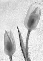 Tulipanes Blancos 33-2 Fine-Art Print