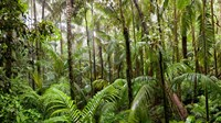 Trees in tropical rainforest, Eungella National Park, Mackay, Queensland, Australia Fine-Art Print