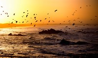 Flock of seagulls fishing in waves at sunset, Morbihan, Brittany, France Fine-Art Print