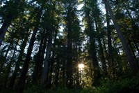Redwood trees in a forest, Del Norte Coast Redwoods State Park, Del Norte County, California, USA Fine-Art Print