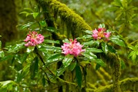 Rhododendron flowers in a forest, Jedediah Smith Redwoods State Park, Crescent City, Del Norte County, California, USA Fine-Art Print