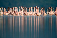 Flamingo Reflections in a lake, Lake Nakuru, Lake Nakuru National Park, Kenya Fine-Art Print