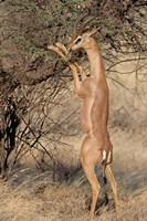 Male gerenuk (Litocranius waller) eating leaves, Samburu National Park, Rift Valley Province, Kenya Fine-Art Print