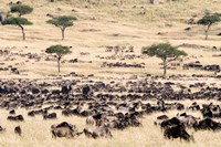 Great migration of wildebeests, Masai Mara National Reserve, Kenya Fine-Art Print