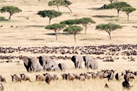 Wildebeests with African elephants (Loxodonta africana) in a field, Masai Mara National Reserve, Kenya Fine-Art Print