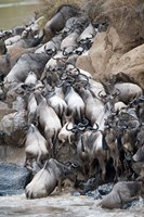 Herd of wildebeests crossing a river, Mara River, Masai Mara National Reserve, Kenya Fine-Art Print