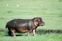 Hippopotamus (Hippopotamus amphibius) in a field, Ngorongoro Crater, Ngorongoro, Tanzania Fine-Art Print