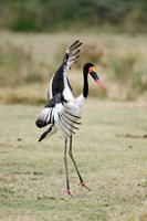 Saddle Billed stork (Ephippiorhynchus Senegalensis) spreading wings, Tarangire National Park, Tanzania Fine-Art Print