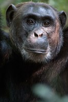Close-up of a Chimpanzee (Pan troglodytes), Kibale National Park, Uganda Fine-Art Print
