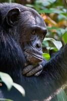 Chimpanzee, Kibale National Park, Uganda Fine-Art Print