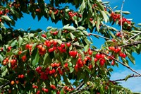 Cherries to be Harvested, Cucuron, Vaucluse, Provence-Alpes-Cote d'Azur, France (horizontal) Fine-Art Print