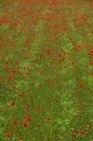 Poppy Field in Bloom, Les Gres, Sault, Vaucluse, Provence-Alpes-Cote d'Azur, France (vertical) Fine-Art Print