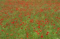 Poppy Field in Bloom, Les Gres, Sault, Vaucluse, Provence-Alpes-Cote d'Azur, France (horizontal) Fine-Art Print