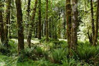 Ferns and Trees, Quinault Rainforest, Olympic National Park, Washington State Fine-Art Print