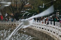 People feeding the gulls in a park, Green Lake Park, Kunming, Yunnan Province, China Fine-Art Print