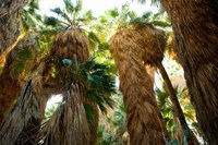 Low angle view of palm trees, Palm Springs, Riverside County, California, USA Fine-Art Print
