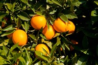 Oranges, Santa Paula, Ventura County, California Fine-Art Print