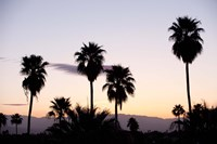 Silhouette of palm trees at dusk, Palm Springs, Riverside County, California, USA Fine-Art Print