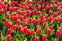 Field of Red Tulips Fine-Art Print
