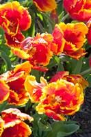 Tulips at Sherwood Gardens, Baltimore, Maryland Fine-Art Print