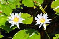 Water lilies with lily pads in a pond, Isola Madre, Stresa, Lake Maggiore, Piedmont, Italy Fine-Art Print