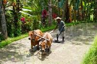 Farmer with Oxen, Rejasa, Penebel, Bali, Indonesia Fine-Art Print