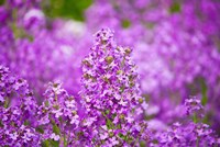 Close-up of Pink Fireweed flowers, Ontario, Canada Fine-Art Print